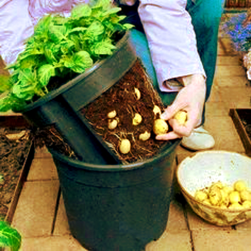 Potatoes 2 pots